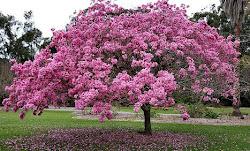 Costa Rica Trumpet Tree