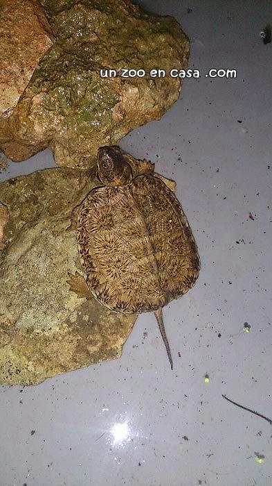 Cría de Glyptemys insculpta