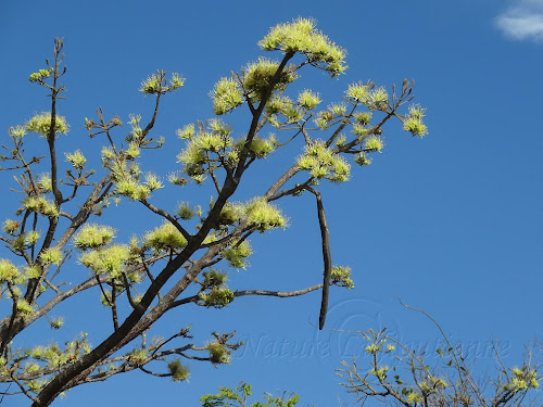 Delonix floribunda (identification incertaine)