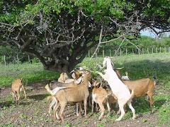 Caprinos consumindo folhas de imbuzeiro