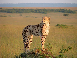 Cheetah on safari on the Masai Mara with Escape Worldwide