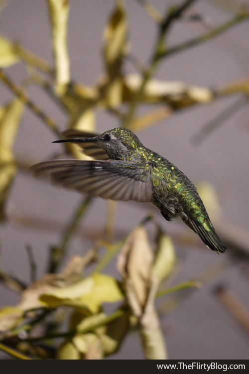 Flying Female Hummingbird