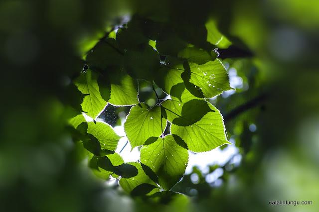 leaves contre-jour