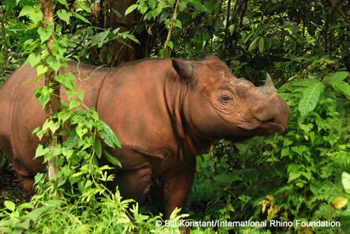 Video Kelahiran Badak Sumatera