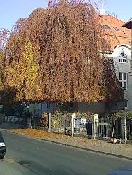 Dieser prächtige Baum steht in einem Vorgarten in der Alfred-Hess-Straße.