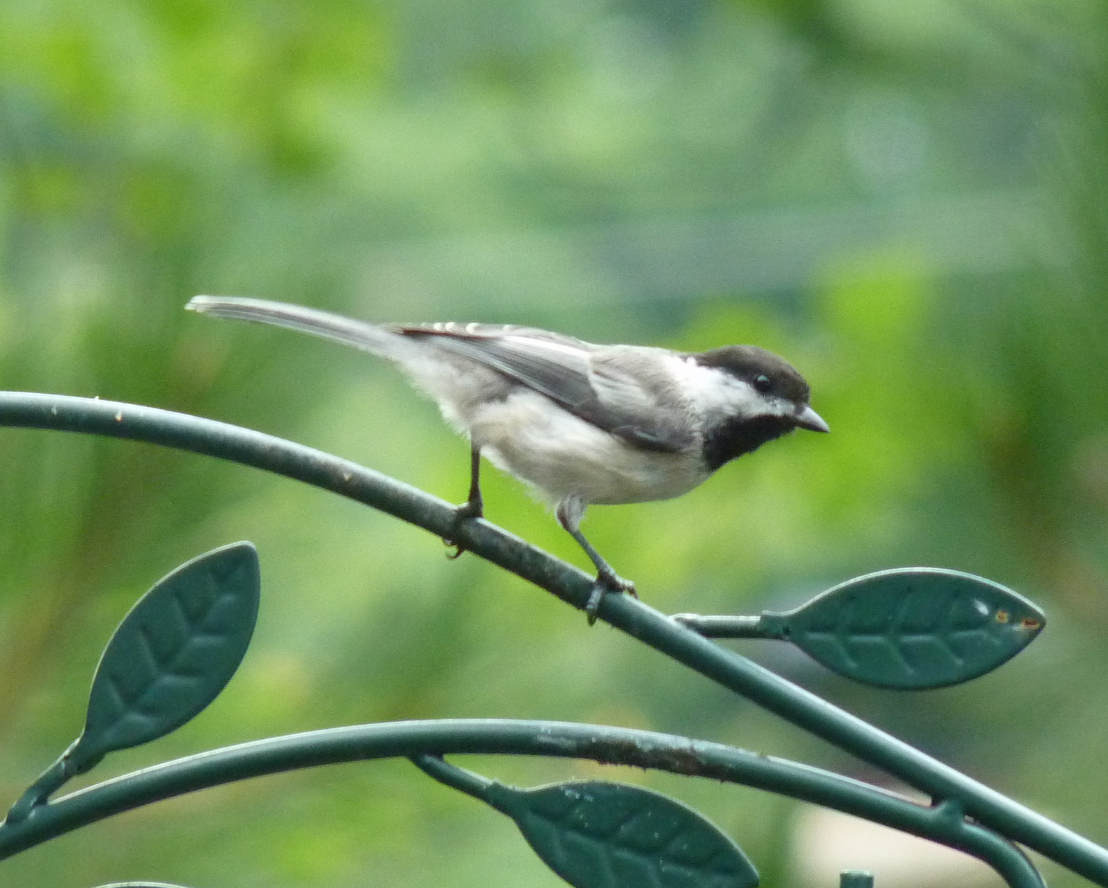 Indigo Bunting - Birds - backyard birds, wild bird watching Florida backyard birds pictures