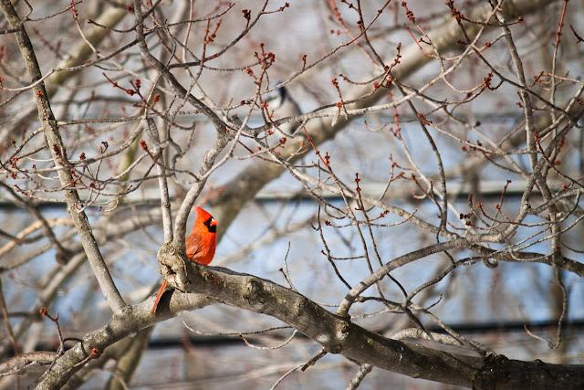 Ohio Cardinal in February