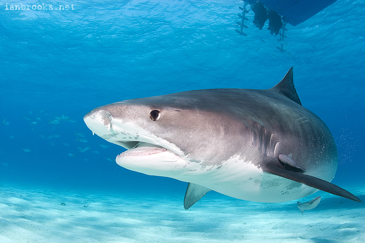 two headed tiger shark french bulldog clipart free french bulldog clipart free
