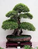membuat bonsai