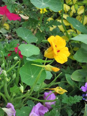 nasturtium Tropaeolum sp.