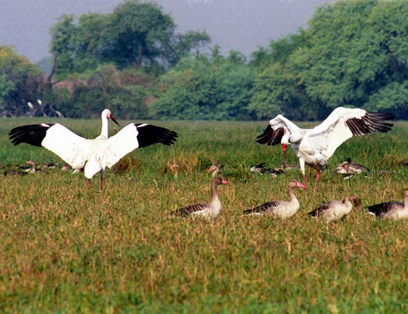Siberian Crane - Keoladeo National Park