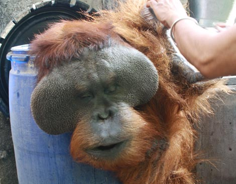 Penanganan Orangutan di Indonesia Buruk