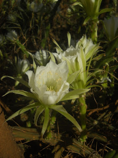 Night Blooming Cereus cactus tropical flower plant Kauai Hawaii