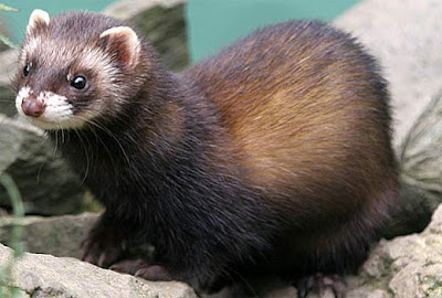 Polecats Wallpapers