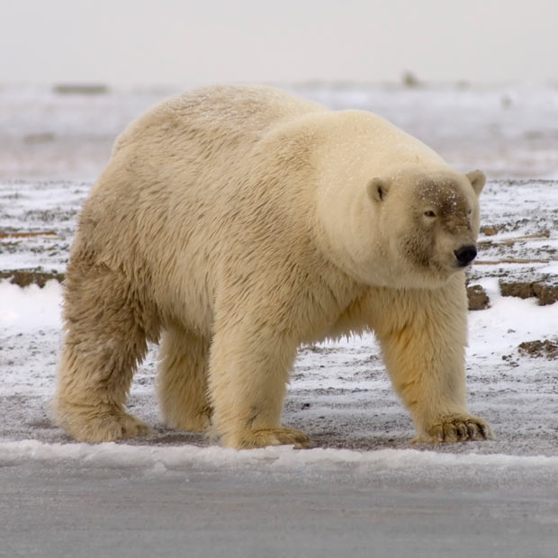 polar bear ecology as impacted by The population ecology of polar bears at svalbard, norway, was examined from 1988 to 2002 using live-captured animals the mean age of both females and males.