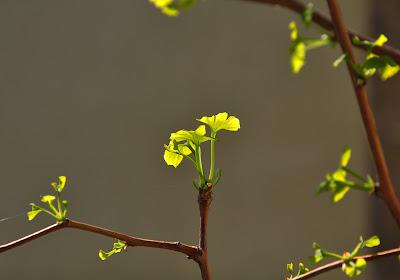 Ginkgo biloba ushering in spring