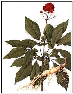 Classification Of Ginseng | Tea Lovers