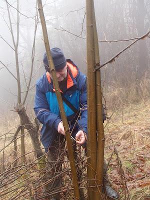 Płomiennica zimowa-Zimówka aksamitnotrzonowa Flammulina velutipes