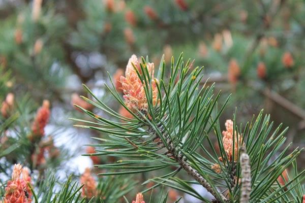 Infiorescenze del pino silvestre