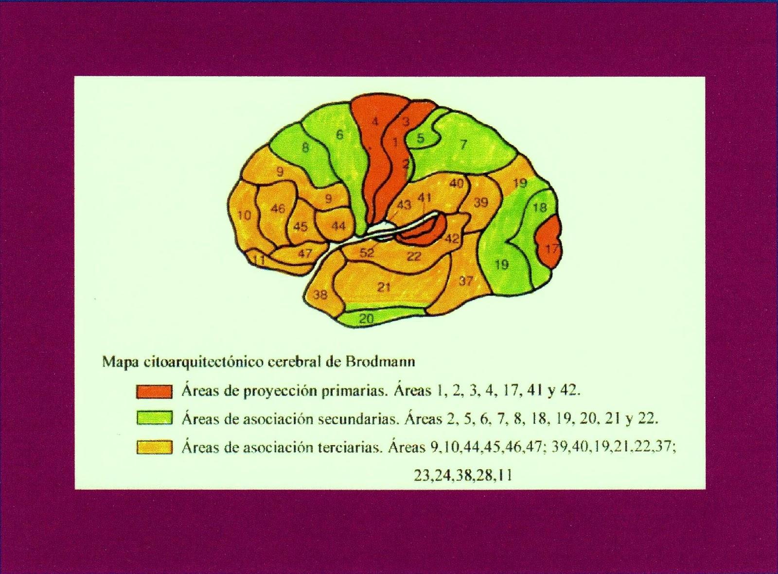 Psicobiología del género Homo: Área de Broca. Filogenia y ontogenia ...