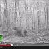 Cámaras ocultas registran al rinoceronte de Sumatra que se consideraba extinto