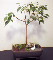 An urban refuge - miniature landscape  with ficus benjamina with variegated leaves