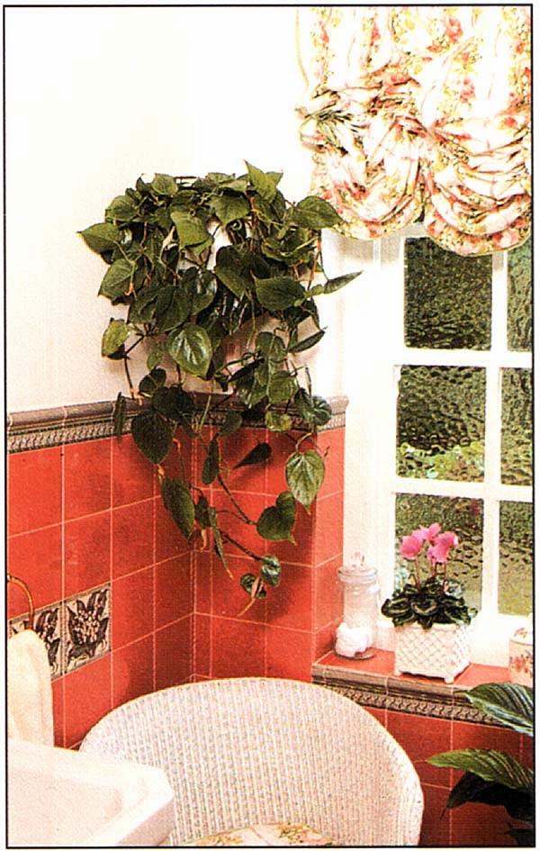 Филодендрон лазящий (Philodendron scandens) неплох в качестве ампельного растения, а спатифиллюм, с его глянцевыми зелеными листьями и белыми, как паруса, соцветиями, всегда элегантен