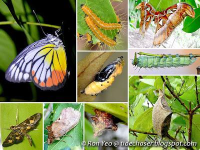 Butterflies & Moths (Order Lepidoptera)