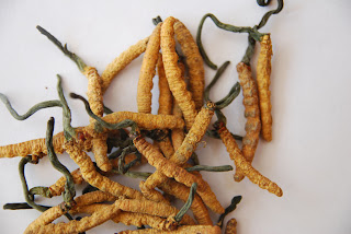 Cordyceps sinensis mushroom is show that female long distance runners can run as a world record.