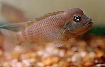 Maymun kafa balığı