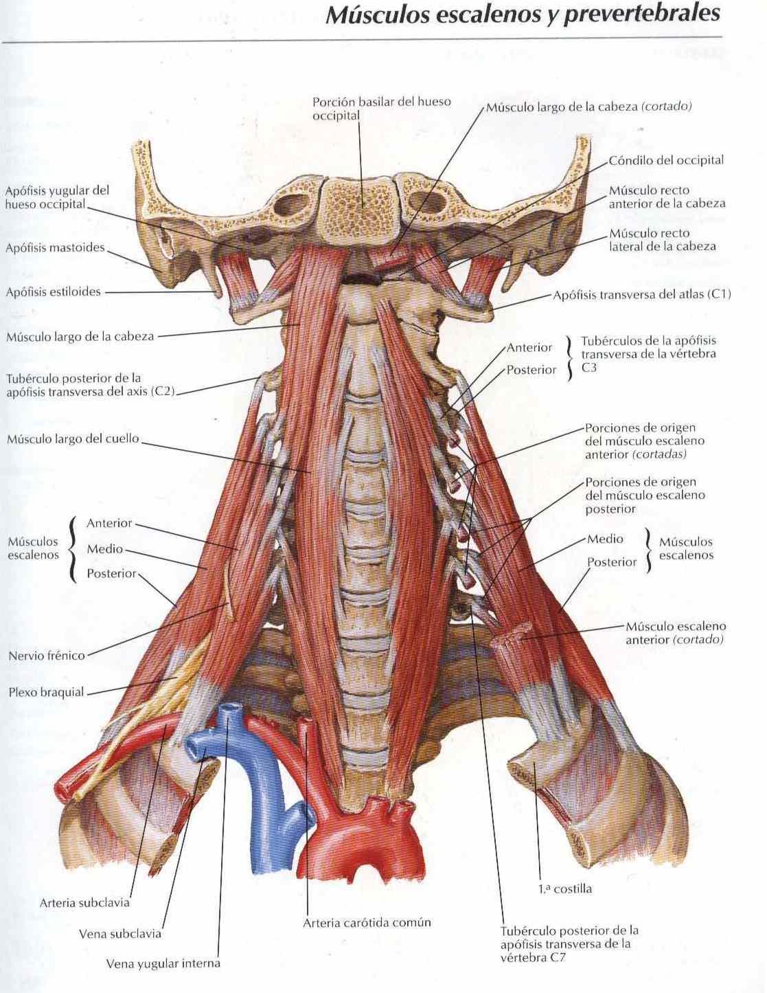 Atlas, anatomía: Músculos escalenos y prevertebrales - Salud, vida ...