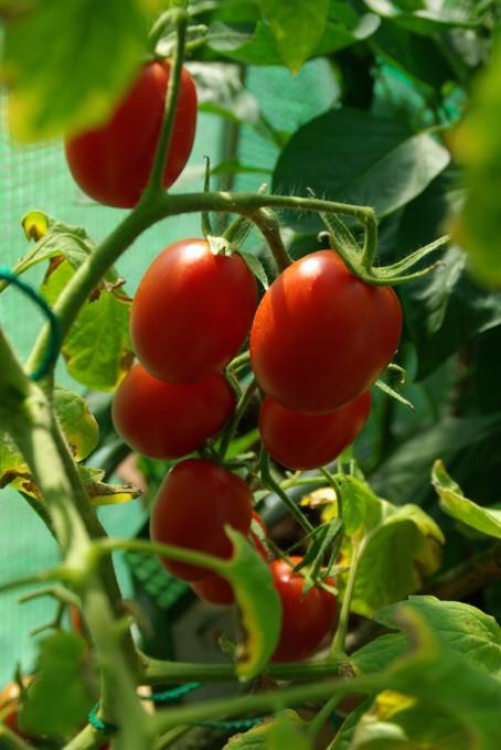 chris allerlei tomatensuppe mit tomaten aus eigener ernte. Black Bedroom Furniture Sets. Home Design Ideas