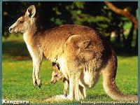 gambar kangguru