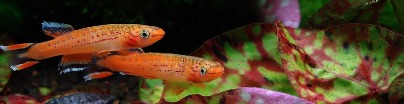 Killifish - Best Freshwater Fish for Aquarium
