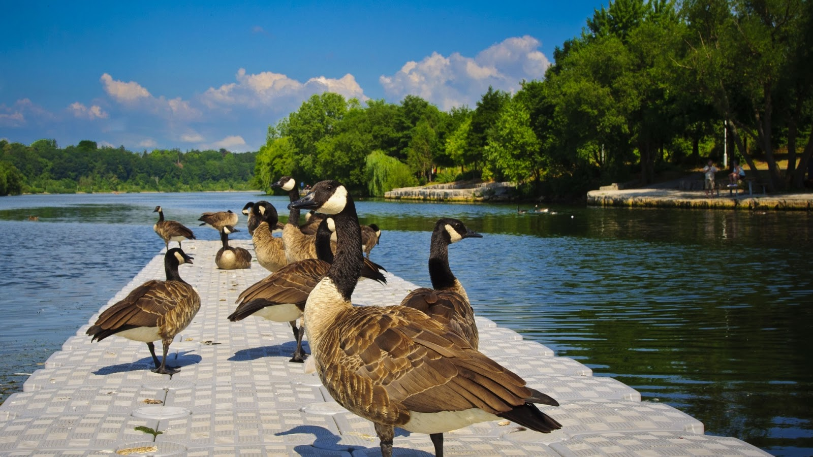 http://3.bp.blogspot.com/-udthbNbsAFU/USzu5gDKUPI/AAAAAAAAEQ0/9H7a5niQkJA/s1600/hd-wallpaper-background-with-geese-in-a-wide-river.jpg