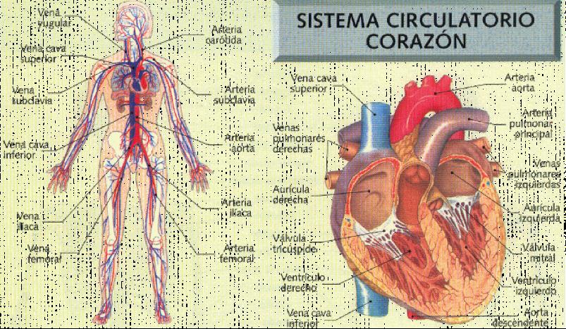 Anatomía Básica