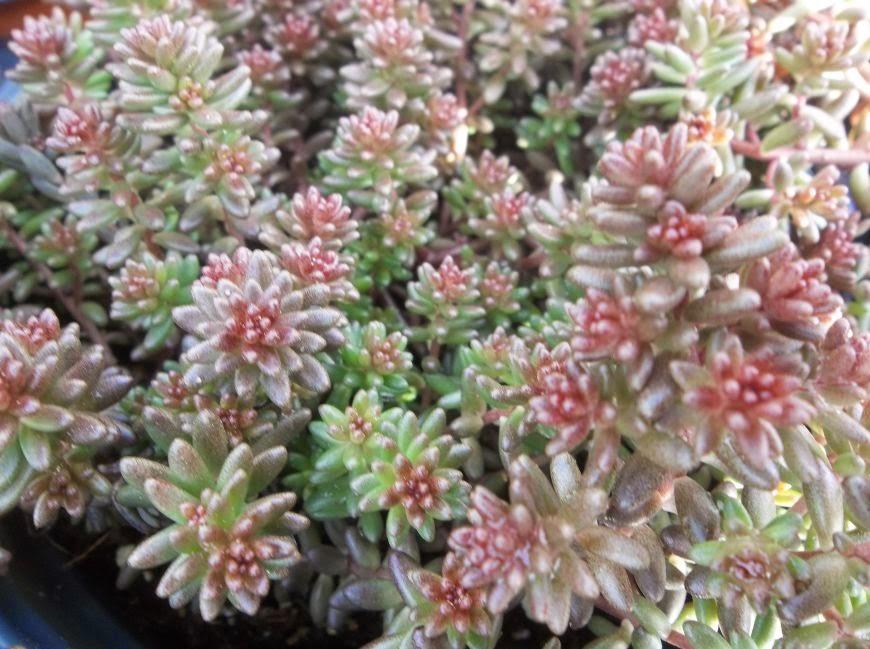Future plants by randy stewart sedum - Sedum album coral carpet ...