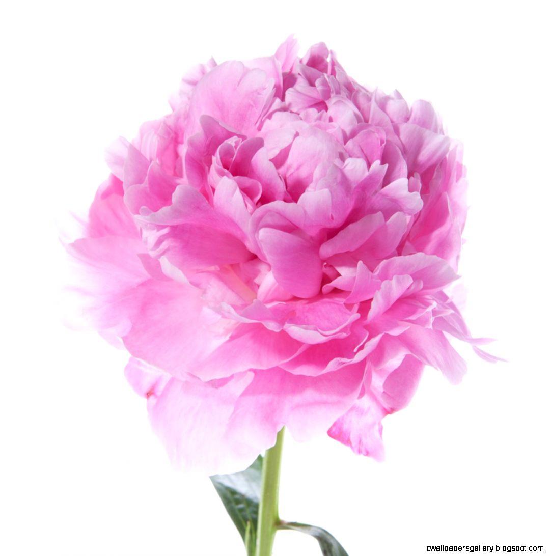 Peonies  Flower Muse