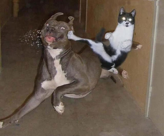 Kungfu cat fighting with a dog image