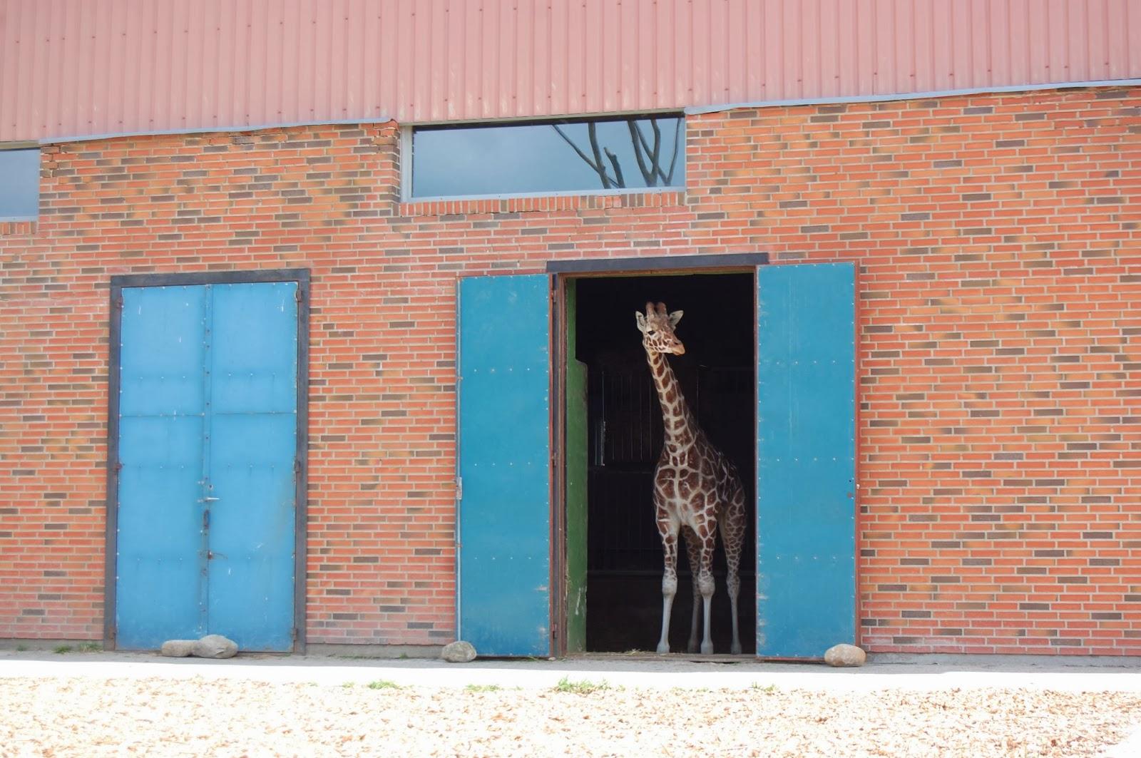 beltenyészet, Dánia, fajfennmaradás, zsiráf, állatkert, állatvilág, Marius