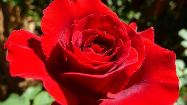 Red Roses كۆمهلێك وێنهی گوڵی سۆری زۆرجوان