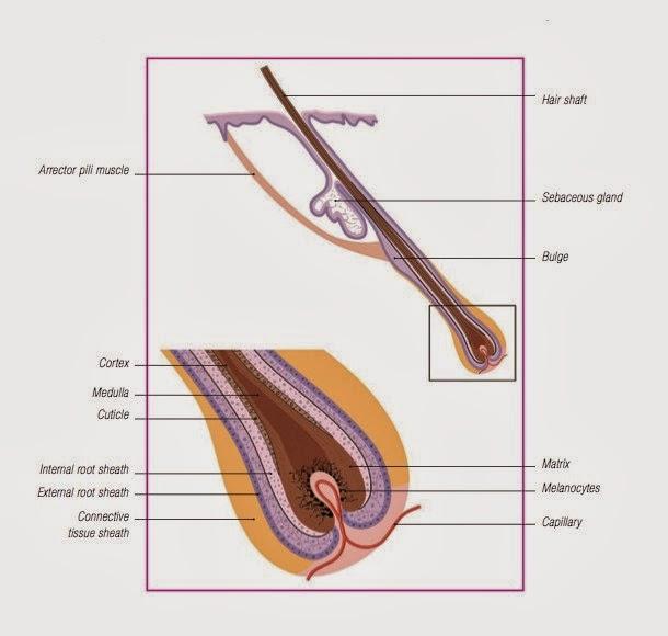 struktur anatomi rambut, rambut kucing
