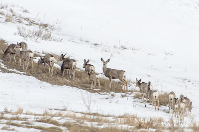 Mule Deer in the Qu'Appelle Valley. Photo © Shelley Banks, all rights reserved.