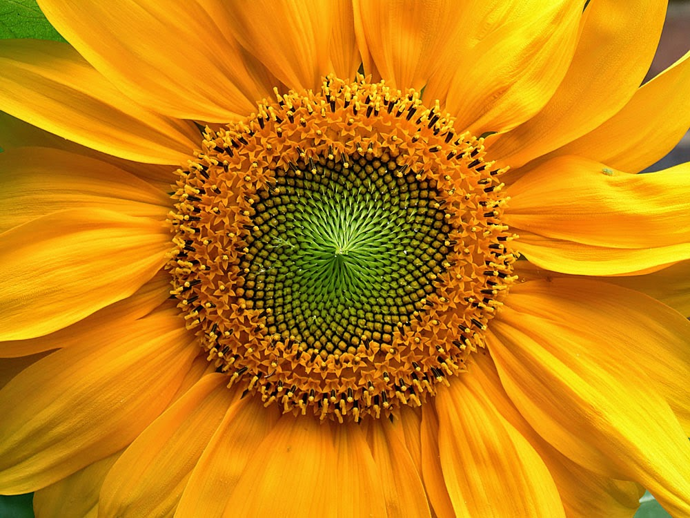Sunflowers and Honey Bees - Sonnenblumen und Hongibienen