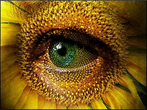 Sunflower ~ Rolf Jacobsen