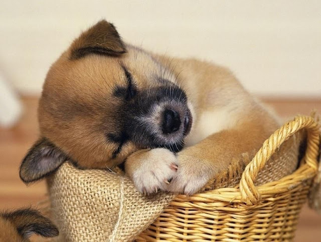 cute sleeping puppies, puppy on basket