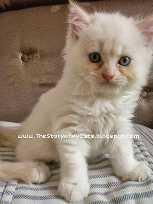 kitten putih
