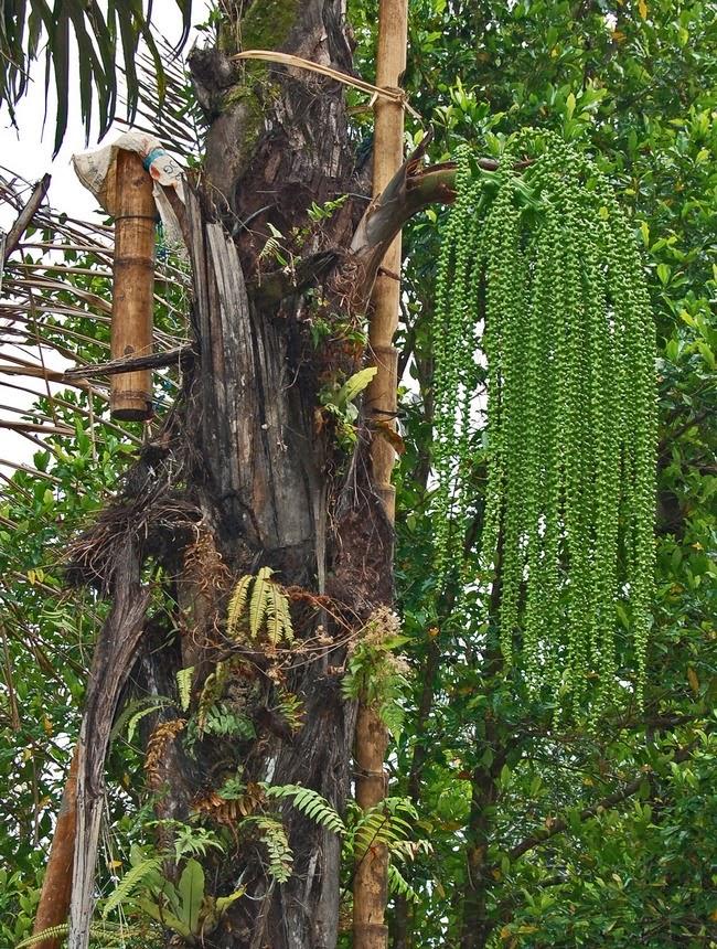 Tanaman herbal dan khasiatnya Aren (Arenga pinnata (Wurmb.) Merr.)