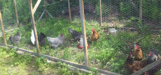 name that chicken, chicken breeds, backyard chickens, country living