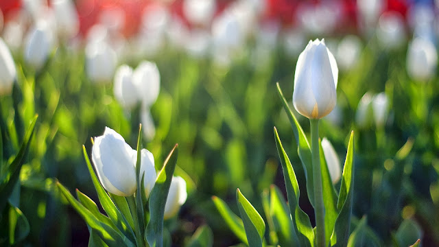 White Tulips in morning light HD Wallpaper